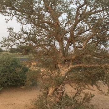 Oman Boswellia Sacra